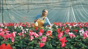 Un florista riega ciclamen en potes en un invernadero metrajes