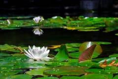 Un flottement de flottement de nénuphar Images libres de droits
