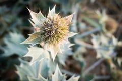 Un flowerhead de houx de mer ou de seathistle bleu après la floraison image stock