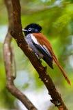 Un FLYCATCHER femelle de paradis photographie stock libre de droits