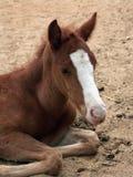 Un foal Immagine Stock