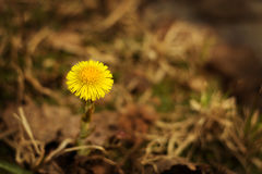 Un foalfoot de la flor en un cierre del prado para arriba Foto de archivo