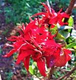 Un foco hermoso en la flor rojo oscuro imagen de archivo