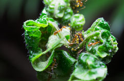 Un foco seleccionado de la hormiga en las hojas desertadas que pueden tener algo dulce Fotos de archivo