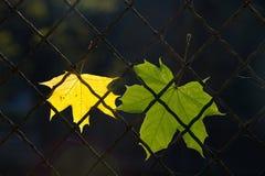 Un foglio caduto di autunno su un recinto di filo metallico Fotografia Stock Libera da Diritti