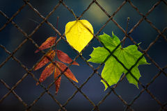 Un foglio caduto di autunno su un recinto di filo metallico Fotografie Stock Libere da Diritti