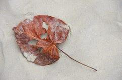 Un foglio decaduto sulla spiaggia Immagini Stock