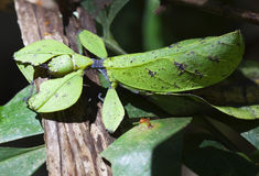 Un foglio-insetto, Phylliidae Immagine Stock