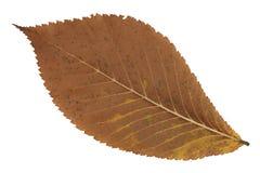 Un foglio marrone sbiadetto di autunno Fotografia Stock Libera da Diritti
