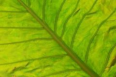 Un foglio verde Fotografia Stock Libera da Diritti