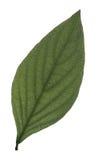 Un foglio verde su priorità bassa bianca Fotografie Stock