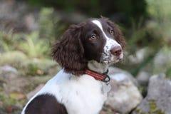 Un foie et un chantier blanc dactylographient le chien de chasse d'animal familier d'épagneul de springer anglais Photographie stock