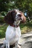 Un foie et un chantier blanc dactylographient le chien de chasse d'animal familier d'épagneul de springer anglais Photos libres de droits