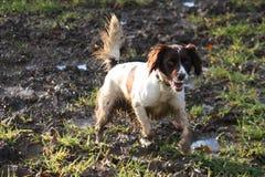 Un foie et un chantier blanc dactylographient le chien de chasse d'animal familier d'épagneul de springer anglais Photo stock