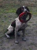 Un foie et un chantier blanc dactylographient le chien de chasse d'animal familier d'épagneul de springer anglais Photos stock