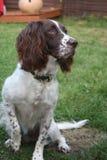 Un foie et un chantier blanc dactylographient le chien de chasse d'animal familier d'épagneul de springer anglais Photographie stock libre de droits