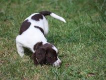 Un foie et un chantier blanc dactylographient le chien de chasse d'animal familier d'épagneul de springer anglais Images stock