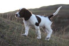 Un foie mignon très petit et un chantier blanc dactylographient le chiot de chien de chasse d'animal familier d'épagneul de sprin Images stock