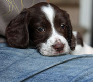 Un foie très mignon et un chantier blanc dactylographient le chien de chasse d'animal familier d'épagneul de springer anglais Photographie stock libre de droits