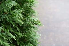Un fond de nature des feuilles de sinensis de Thuja images stock