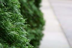 Un fond de nature des feuilles de sinensis de Thuja image libre de droits