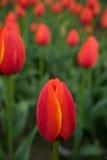 Un fond rouge lumineux de fleur de tulipe Macro tir de bokeh Photographie stock libre de droits