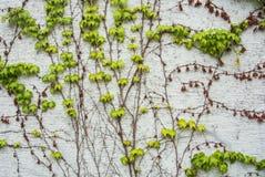 Un fondo con la uva fresca marrón y verde clara seca ramifica y deja el levantamiento en una pared pintada áspera blanca Imagen de archivo