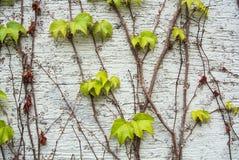 Un fondo con la uva fresca marrón y verde clara seca ramifica y deja el levantamiento en una pared pintada áspera blanca Fotos de archivo libres de regalías