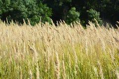 Un fondo con una hierba de prado brillante de oro colorida Fotos de archivo libres de regalías