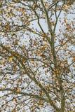 Un fondo del otoño del árbol de abedul Foto de archivo libre de regalías