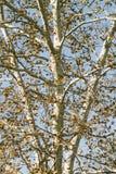 Un fondo del otoño del árbol de abedul Imagen de archivo libre de regalías