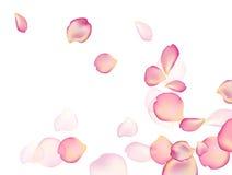 Un fondo della rosa Immagine Stock