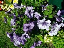 Un fondo floral de las flores violetas foto de archivo