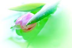Un fondo verde del tulipán Foto de archivo libre de regalías