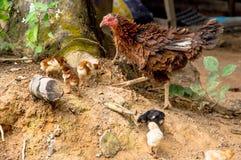 Un foraggiamento della nidiata Fotografia Stock Libera da Diritti