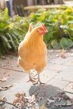 Un foraggiamento libero del pollo della gamma del cortile nel sole di pomeriggio Fotografia Stock Libera da Diritti