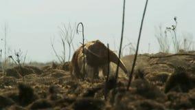 Un formichiere gigante sulle pianure del Sudamerica Le zampe anteriori potenti gli permettono di strappare facilmente a parte una immagine stock libera da diritti