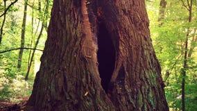 Un foro nell'albero sotto forma di un organo riproduttivo femminile Una grande cavità nel tronco di un albero in mezzo alla a stock footage
