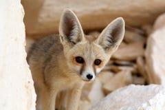 Un Fox de Fennec en el desierto blanco, Egipto Fotografía de archivo
