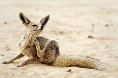 Un Fox del deserto Fotografie Stock Libere da Diritti