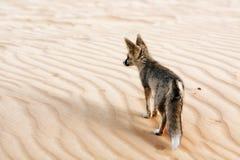 Un Fox del deserto che esamina il suo territorio Immagine Stock