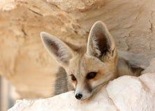 Un Fox del deserto nell'Egitto fotografie stock libere da diritti