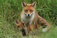 Un Fox rosso selvaggio magnifico, vulpes di vulpes, stanti nello sguardo lungo dell'erba Il suo cucciolo sveglio può essere ripos fotografia stock