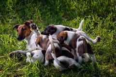 Un fox terrier liso-cabelludo criado en línea pura, le alimenta perritos hambrientos Fotografía de archivo libre de regalías