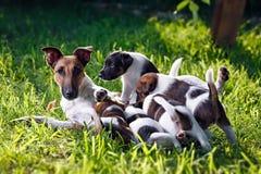 Un fox terrier liso-cabelludo criado en línea pura, le alimenta perritos La familia Fotos de archivo libres de regalías