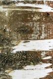 Un fragment d'écorce de bouleau Image stock