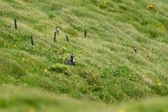 Un frailecillo atlántico en la hierba imagenes de archivo
