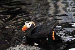 Un frailecillo de Alaska Imágenes de archivo libres de regalías