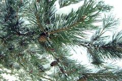 Un frammento del pino nella neve Fuoco molle immagine stock
