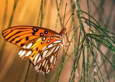 Un Fritillary del golfo de la mariposa aterrizó en árbol de pino australiano Foto de archivo